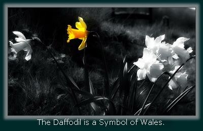 The Daffodil is the Flower of Wales